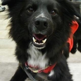 ふれあい犬卒業のボーダーコリーミックス犬