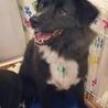 ふれあい犬卒業のボーダーコリーミックス犬 サムネイル2