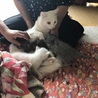 真っ白猫ちゃんオスです サムネイル3