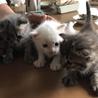 真っ白猫ちゃんオスです サムネイル4