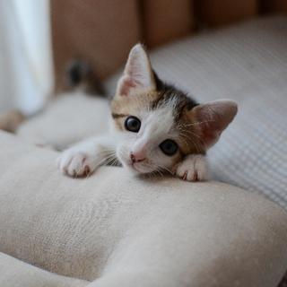 正統派美猫【耀】