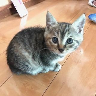 キジトラのメスの子猫