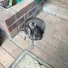 キジトラのメスの子猫 サムネイル2