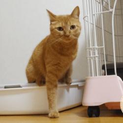 【猫砂は何をお使いですか?】うちの茶トラ猫です
