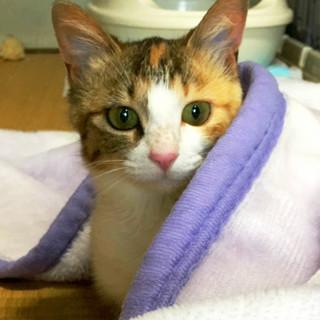 おでこにハートマーク付♡きれいな模様の三毛猫♡