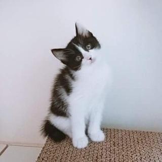 1ヶ月半【6/17東銀座猫の譲渡会】リンちゃん