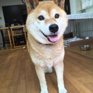 大人しい柴犬の可愛いぼたんちゃん