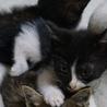 生後1ヶ月半の 白黒のオスです 5兄弟 サムネイル2