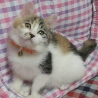 【6/17東日本橋】2ヶ月半♡三毛猫の樹里ちゃん