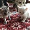 真っ白猫ちゃんオスです サムネイル2