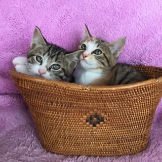 ミケのミンミン&キジシロのロニー美形兄妹