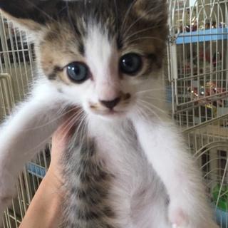 美人茶白キジの野々美ちゃん!他20匹子猫がいます。