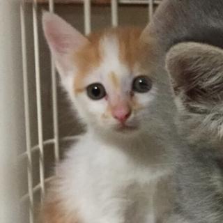 オレンジ白!勇敢なヤンマー君!他20匹子猫がいます