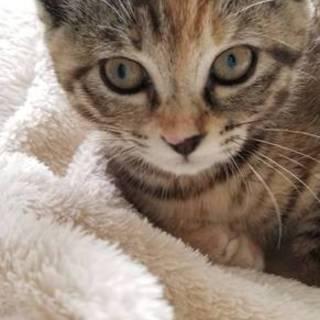 個性的な柄のサビ猫ポッキー♀