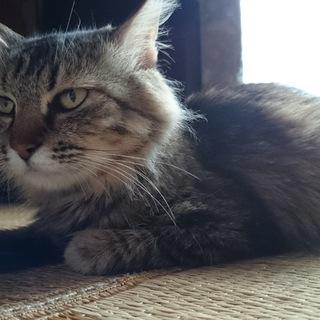 キジトラ(長毛)保護猫です