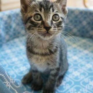 とっても元気で甘えん坊☆サバトラ子猫さんです☆