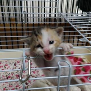 2週間位のミケ子猫(てんまろ♀)ご対面決定