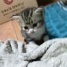 可愛い小さな子猫ちゃんアメリカンショート風