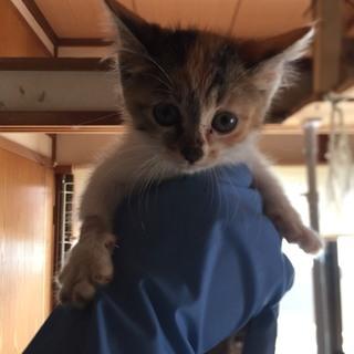 コクリコ子猫☆メス☆三毛