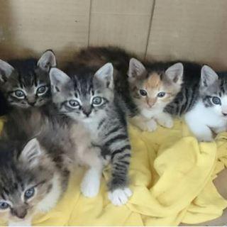 【生後約2か月】三毛とキジの5兄弟【里親募集】