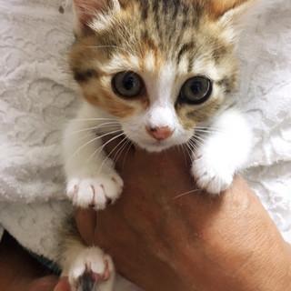 6月24日譲渡会参加!美少女ミケ猫ちゃん♪