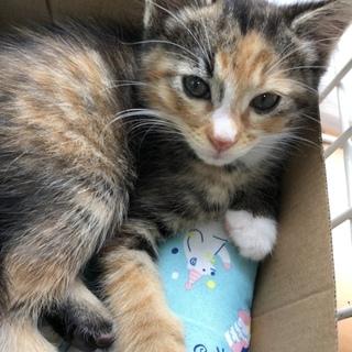 ミケ猫チャン♀生後2ヶ月位...♪*゚