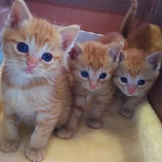 1か月~2か月の赤ちゃん猫多数お見合い会開催中