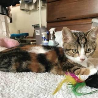 ベタ慣れ希少なガラの三毛猫キャリコ3か月