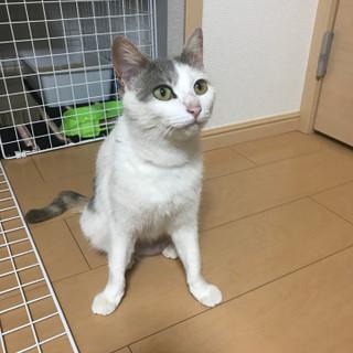 かぎしっぽの美人な猫 推定1歳半