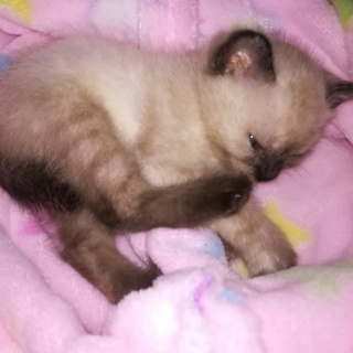 シャム系1カ月半、愛情たっぷりママ猫と一緒に