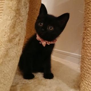 1.5ヶ月の可愛い黒猫ちゃん