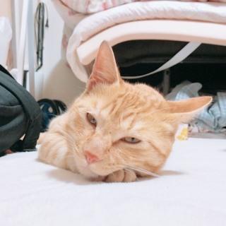 とても人懐っこいおっとり茶トラ猫