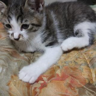 生後二ヶ月の子猫の里親募集