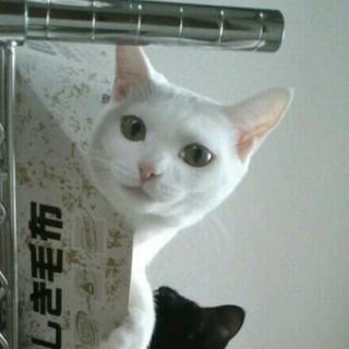 真っ白い猫ちゃん(4歳 ♀)の里親募集です