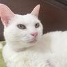 超甘えんぼさん!白猫の女の子!