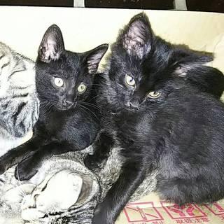 黒猫とキジトラ 子猫