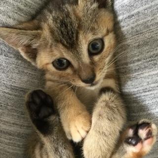 可愛いお顔の子猫、キジトラ 女の子