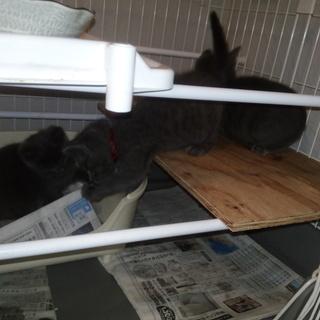 ブルー仔猫3姉妹(厳し過ぎる要求無し、動画あり)
