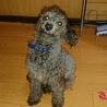 トイプードルシルバー1歳8ヶ月