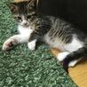 キジ白1ヶ月半位の子猫の里親募集