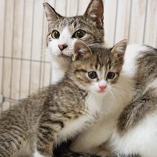 子猫と一緒の募集です♩2歳のママ猫、吉木さん(仮)