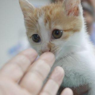 犬猫ベタ慣れ、茶白のたれ目がかわいいみかんちゃん