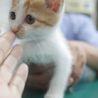 犬猫ベタ慣れ、茶白のたれ目がかわいいみかんちゃん サムネイル2
