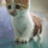 犬猫ベタ慣れ、茶白のたれ目がかわいいみかんちゃん サムネイル3