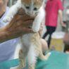 犬猫ベタ慣れ、茶白のたれ目がかわいいみかんちゃん サムネイル5