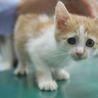 犬猫ベタ慣れ、茶白のたれ目がかわいいみかんちゃん サムネイル6