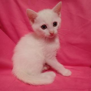 おめめクリクリ!白猫『つつじちゃん』生後7週♀