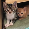 子猫の里親募集中(2匹共オス)できれば2匹一緒で。