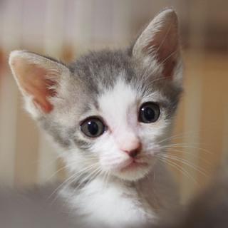グレー×白のエリック!他20匹子猫がいます