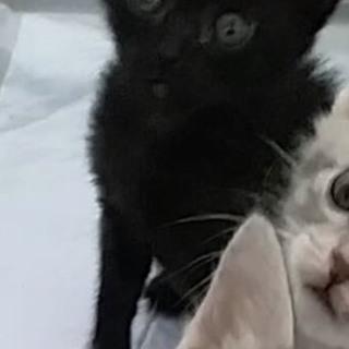 クリっとしたお目めクロエ!他20匹子猫がいます